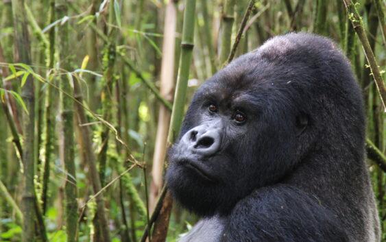goryle górskie jak ten można z łatwością znaleźć podczas wycieczki objazdowej do Ugandy , Ruandy, Burundi