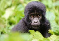 Wycieczka Uganda Ruanda