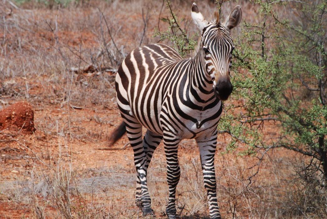 zebra-niedaleko-tsavo-west